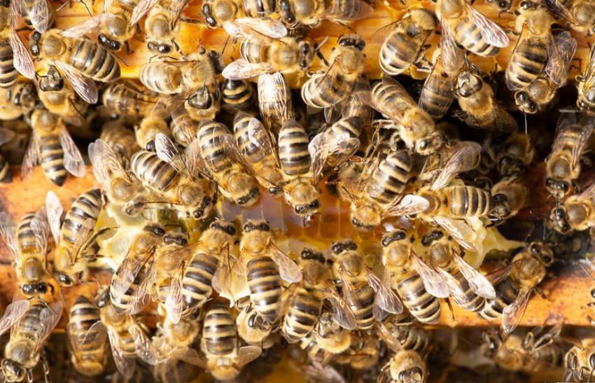 Bienenfink