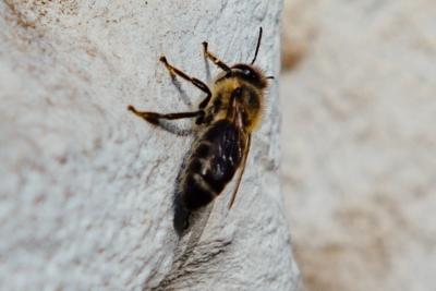 Stadtbiene